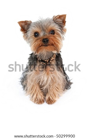 Small Teacup Yorkshire Terrier dog isolated on white