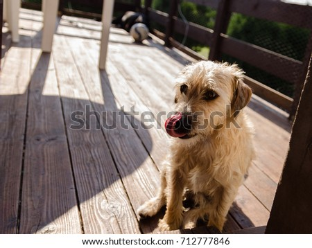 Small terrier dog sitting on the terrace and licking his nose