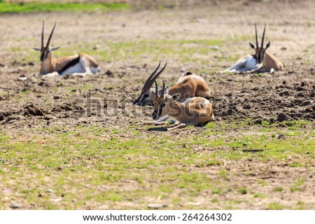 Small thomson's gazelle are lying on the ground - stock photo