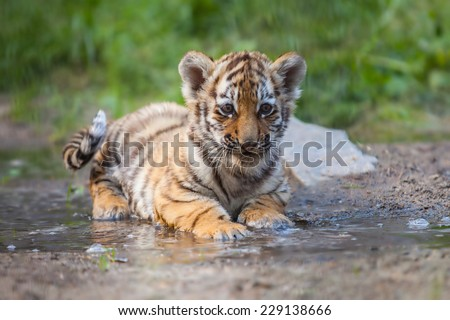 Small tiger cub lying in water - stock photo