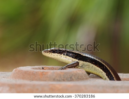 small tiny green black brown wild skink small size tropical lizard in family Scincidae, with long black stripe on the smooth body resting under sunlight on a brick in green area of a home garden - stock photo
