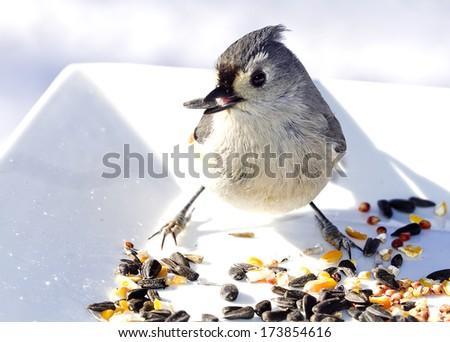 Small Titmouse bird feeding on birdseed on white plate outdoors - stock photo