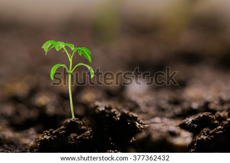 small tomato seedling in the ground - stock photo