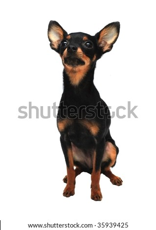 Small toy-terrier on a white background isolated