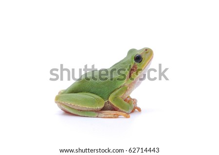 Small tree frog isolated on white background. - stock photo