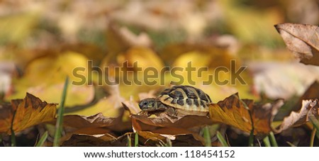 Small turtle crawling through the fallen autumn leaves - stock photo