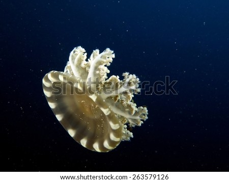 Small upside-down jellyfish swimming in blue water - stock photo