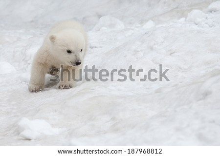small white bear cub on snow - stock photo