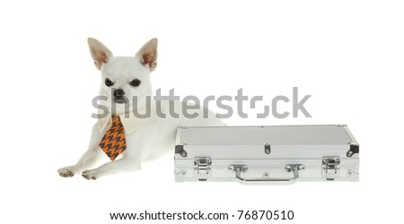 Small white Chihuahua Puppy Wearing a blue and orange check with tan NeckTie lying next to a silver briefcase, has angry unapproachable look, isolated on white background.