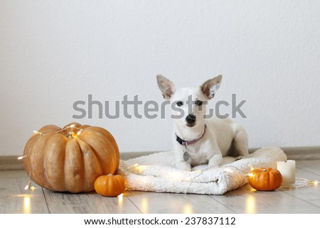small white dog on a rug with pumpkin - stock photo