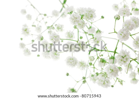 small white flowers isolated on white . shallow dof - stock photo