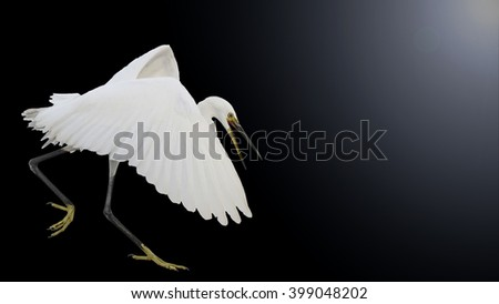 Small white heron flies isolated on black background and sunnyhotspot - stock photo