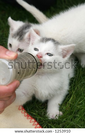 Small white kitten being given milk with a bottle - stock photo