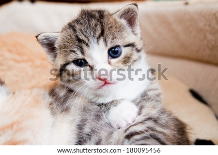 small white kitten with blues eyes sitting and watching in the lair