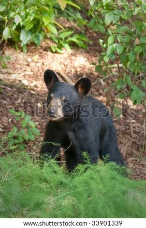 small wild bear cub walking on a path with greenery around - stock photo