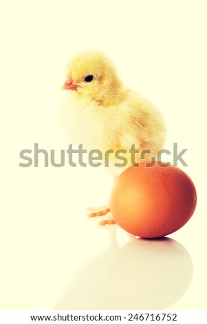 Small yellow chick with full egg.  - stock photo