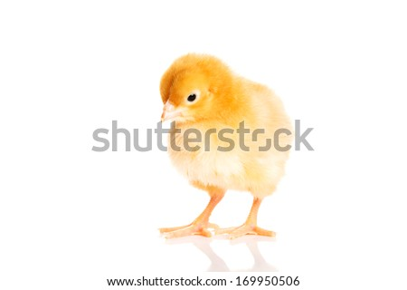 Small yellow Easter chick. Isolated on white.