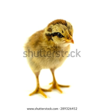 Small yellow Easter chick. Isolated on white. - stock photo