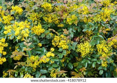 Small yellow flowers mahonia spring morning stock photo edit now small yellow flowers mahonia in spring morning mightylinksfo