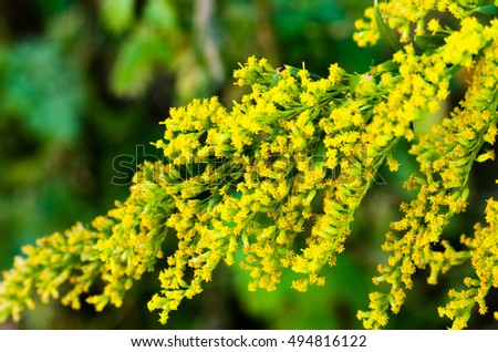 Small yellow flowers, Solidago virgaurea