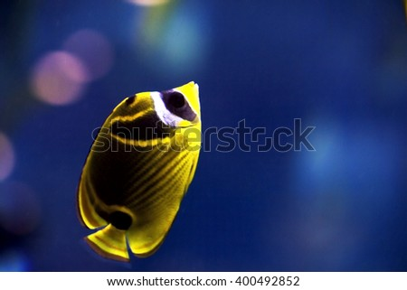 small yellow sea tropical fish swimming in the water - stock photo