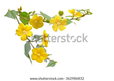 Small Yellow Wild Hibiscus Flower on branch isolated on white background - stock photo