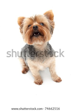 Small Yorkshire Terrier dog breed - stock photo