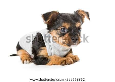 Small Yorkshire Terrier t-shirt, isolated on white - stock photo