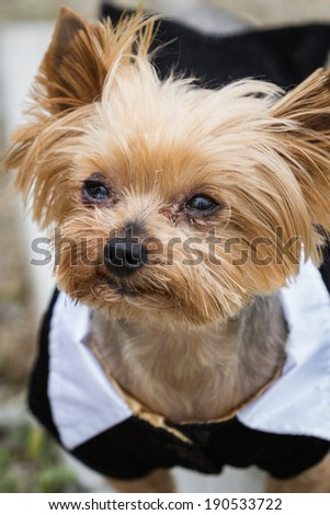 small Yorkshire terrier wearing a tux standing with severe allergies