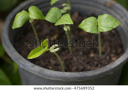 small young bean tree