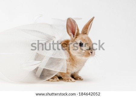 Small young cute brown easter bunny with white wedding bride veil props on homogenic white background - stock photo