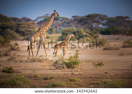 Small young giraffe walks in the shadow of the parent - stock photo