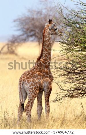 Small young grazing cute giraffe in Etosha national Park, Ombika, Kunene, Namibia, true wildlife photography - stock photo