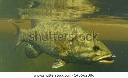 smallmouth bass, Micropterus dolomieu, underwater in river in Oregon - stock photo