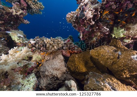 Smallscale scorpionfish and tropical reef in the Red Sea - stock photo