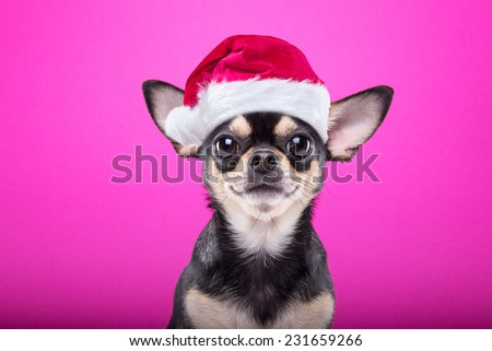 Smart dog in a Christmas costume. Dressed as Santa Claus. New Year's holidays
