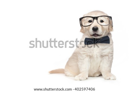 Smart Elegant Golden Retriever Puppies on Right Opened Mouth - stock photo