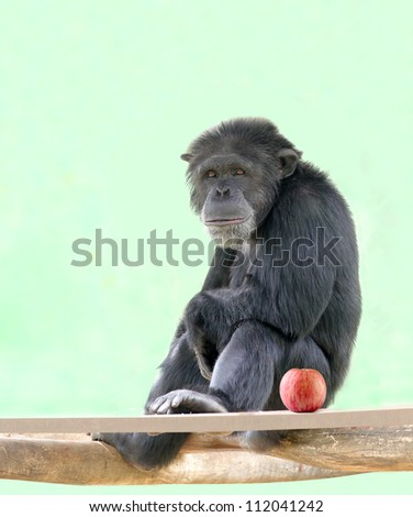 Smart intelligent chimpanzee sitting in relaxed mood and looking with an apple besides it. Chimps are very smart animals and closest relatives of humans and they are of African origin. - stock photo