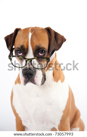 Smart Looking Dog Wearing Green Tortoise Shell Glasses - stock photo