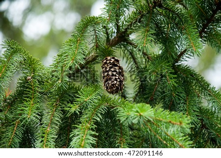 Smereka branch with cone. Evergreen coniferous tree