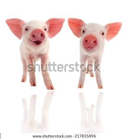 smile  pig on a white background - stock photo