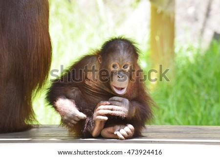 Smiling baby orangutan - photo#28