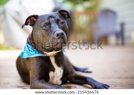 Smiling Black American PitBull wearing a blue bandanna.  - stock photo