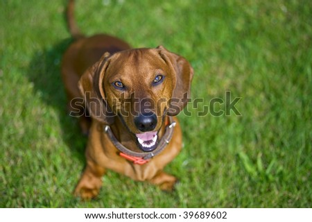 smiling brown dachshund sitting in the grass