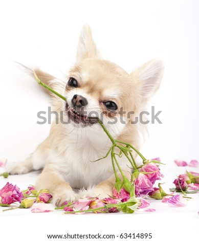 Smiling Chihuahua puppy giving pink roses on white  background - stock photo