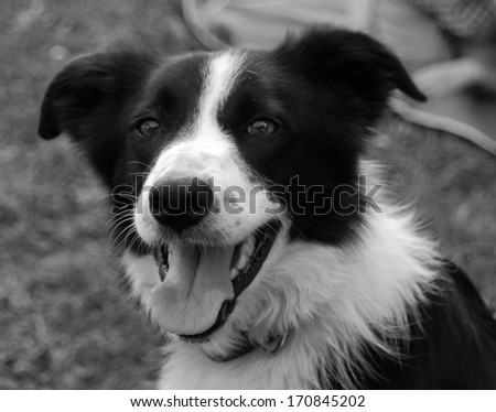 Smiling collie dog on a Welsh farm in the summer - stock photo