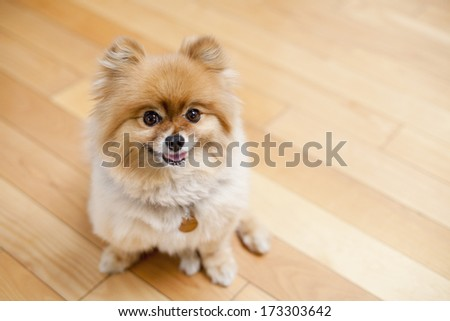 Smiling dog pomeranian relaxing at home on wood floor - stock photo