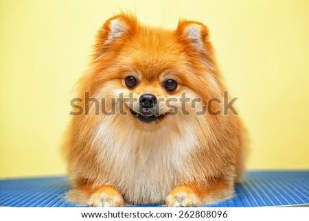 Smiling dog Spitz - stock photo