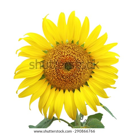 smiling face of sunflower isolated on white background. This has clipping path.  - stock photo