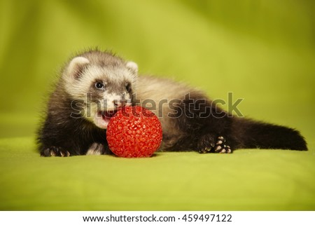 Smiling ferret puppy with red ball in studio - stock photo